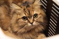ラガマフィンの子猫さん - 宮城県富谷市明石台  くさか動物病院ブログ