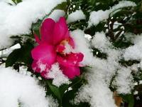 我が家の花ツバキに雪つもる - 風の便り