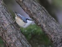 お山の野鳥 - 『彩の国ピンボケ野鳥写真館』