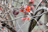 柿とアオゲラ - フォト エチュード  Photo-Etudes