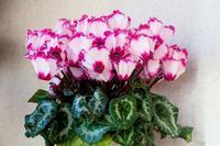 我が家のシクラメン - あだっちゃんの花鳥風月
