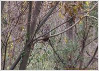 フクロウに遭遇 - 野鳥の素顔 <野鳥と日々の出来事>