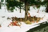 冬の鬼灯と甥の癌闘病 - 照片画廊