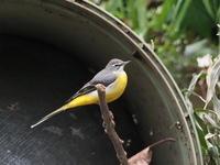 公園にいたキセキレイ - コーヒー党の野鳥と自然 パート2