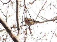 公園の枝にアトリの群れが - コーヒー党の野鳥と自然 パート2
