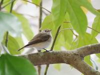オジロビタキに会いに行ってきました。 - コーヒー党の野鳥と自然 パート2