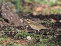 井頭公園のビンズイ - コーヒー党の野鳥と自然 パート2