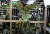 """Platycerium stemaria """"CMR"""" - PlantsCade -2nd effort"""