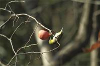 ●● 柿を喰らう・・・・・・・・メジロ ●● - kameのフォトブック2