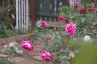 小さなローズガーデンの12か月・・12月 - 季節の風を追いかけて
