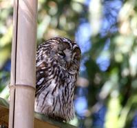フクロウが竹やぶに飛んできた・・・ - 一期一会の野鳥たち