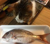 チコにチコ鯛〜また一年 - COMPLEX CAT