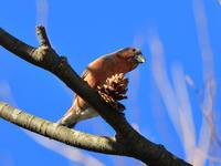 初めて出会えた野鳥たち2018年 - 『彩の国ピンボケ野鳥写真館』