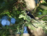12月30日、今日は沢山撮りましたが・・・2回に分けてアップします。午前オオタカの谷戸のリュウキュウサンショウクイと午後のカイツブリ - 鳥撮り日誌