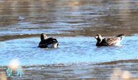風の中白鳥とこのフィールドに飛来しました、沼が氷っていて氷の上をゆっくり歩く。誠 - 皇 昇