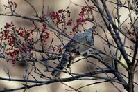 ■鳥 3種(3)18.12.30(ヒヨドリ、コゲラ、カシラダカ) - 舞岡公園の自然2