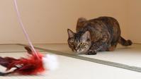 ミッちゃん、羽根と勝負する - 猫と夕焼け