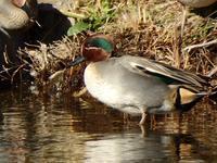 『木曽川水園の鳥達(コガモ・カルガモ・オカヨシガモ・オオバン・カワセミ)』 - 自然風の自然風だより