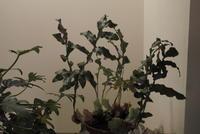 Drynaria sp. - PlantsCade -2nd effort
