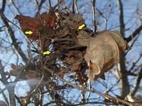 テングチョウ3頭越冬 - 秩父の蝶
