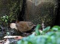 12月31日、今年も今日で最後です最後は何を?撮れていないトラツグミとミソサザイを探して! - 鳥撮り日誌