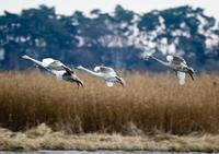 渡良瀬遊水地周辺 - Bird Healing
