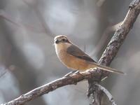 逆光の中のモズ - コーヒー党の野鳥と自然 パート2