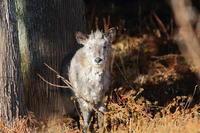 カモシカも凍える寒さ - 上州自然散策2