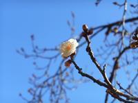 春の先駆け - 気ままに☆ひ撮り旅