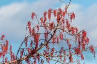 ソシンロウバイ - あだっちゃんの花鳥風月