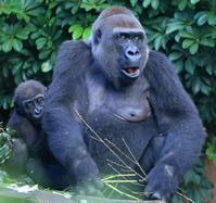 レベルの高い上野動物園にいるゴリラの子育て - 動物園のど!