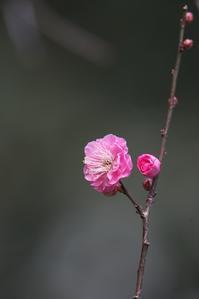 縮景園梅園には、既に咲いてる梅花が(2019/01/02) - まるさん徒歩PHOTO 4:SLやまぐち号・山風景など…。 (2018.10.9~)