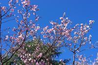 カンザクラの咲く季節 - 川の流れのカンツカブログ