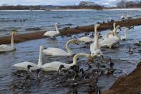 新春・志田浜の白鳥たち・・ - Nature World & Flyfishing