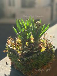 芽出し球根の蕾の頃が好きなんです♡ - 小さな庭 2