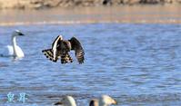 幼鳥が狩りに挑んだ、中々押さえることが出来ない、焦れば焦るほど失敗する、カメラマンは数回来るから面白い。誠 - 皇 昇
