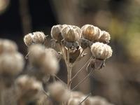 『芙蓉(フヨウ)と車輪梅(シャリンバイ)の実』 - 自然風の自然風だより