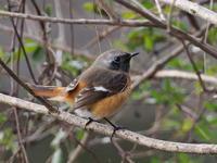 ジョウビタキがいた池の畔 - コーヒー党の野鳥と自然 パート2