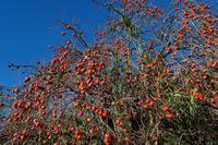 朝のハイブリッド散歩♪・・・・柿大豊作だったのね。水仙もう咲いてる♪ - 『私のデジタル写真眼』