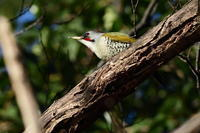 アオゲラ01月03日 - 旧サンヨン野鳥撮影放浪記