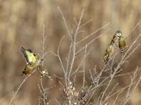 1月3日、本日2回目の投稿です!ミコアイサの公園のベニマシコです。 - 鳥撮り日誌