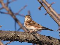梅林にいたカシラダカ - コーヒー党の野鳥と自然 パート2