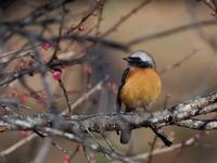 梅林にはジョウビタキも - コーヒー党の野鳥と自然 パート2