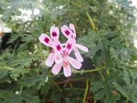 香りのゼラニウム♪ - 神戸布引ハーブ園 ハーブガイド ハーブ花ごよみ