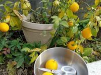 メイヤーレモンのマーマレード作り - ギャラリー 茶房 - 侘助 -