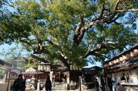 三島神社の薫蓋樟(くんがいしょう) - yoshiのGR散歩