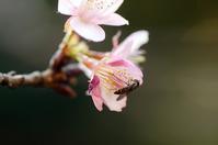 狂い咲きの桜にヒラタアブ - ネコと裏山日記