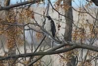 実のすだれの中に隠れるオオタカ - 近隣の野鳥を探して
