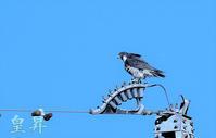 フイ-ルド上をスピ-ドあげて、飛翔したかと思うや鉄塔にとまる、やはり猛禽である。誠 - 皇 昇