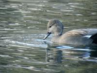『木曽川水園の鳥(オカヨシガモ・オオバン・シメ・イカル・カワセミ等)』 - 自然風の自然風だより